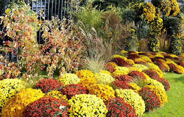 Les chrysanthèmes, plantes d'automne, sont particulièrement employées pour fleurir les sépultures à l'occasion de la Toussaint. | © DR
